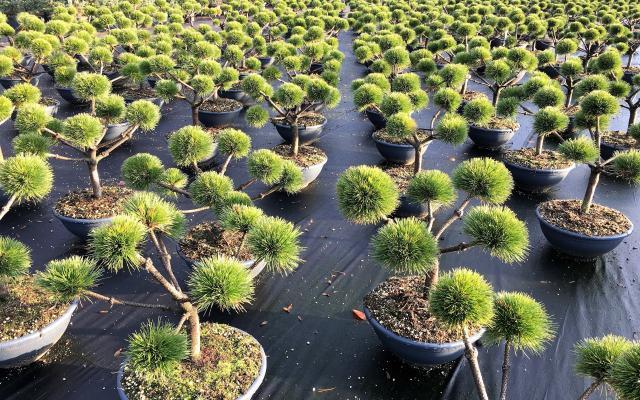 vintergrønne trær